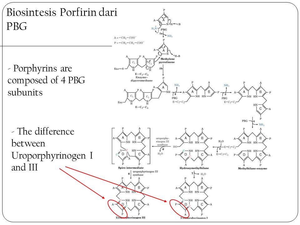 Biosintesis Porfirin dari PBG