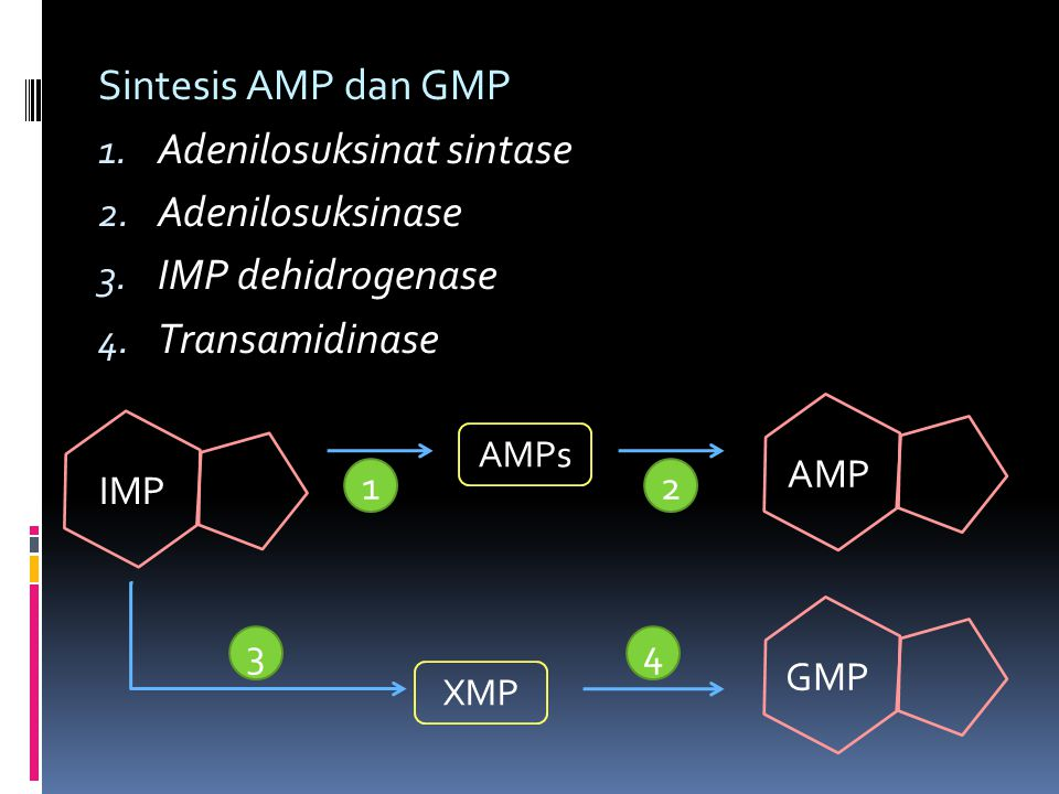 Adenilosuksinat sintase Adenilosuksinase IMP dehidrogenase