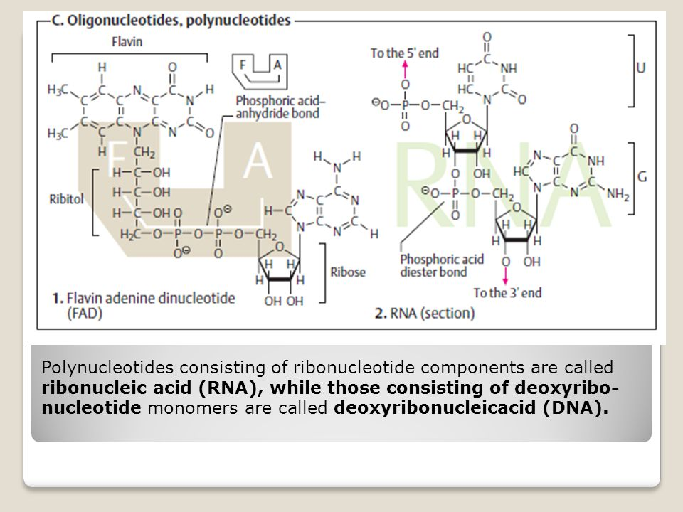 Polynucleotides consisting of ribonucleotide components are called ribonucleic acid (RNA), while those consisting of deoxyribo-nucleotide monomers are called deoxyribonucleicacid (DNA).