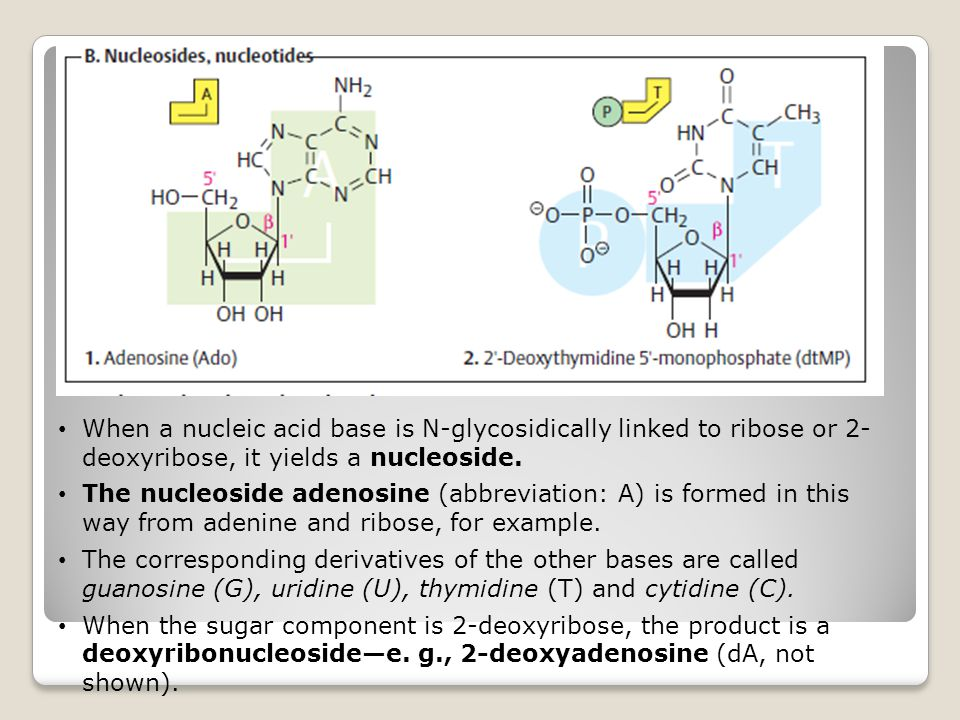When a nucleic acid base is N-glycosidically linked to ribose or 2- deoxyribose, it yields a nucleoside.