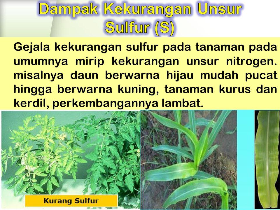 Dampak Kekurangan Unsur Sulfur (S)
