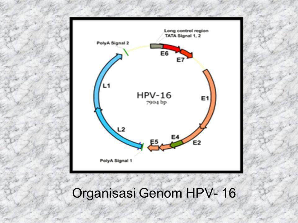 Organisasi Genom HPV- 16