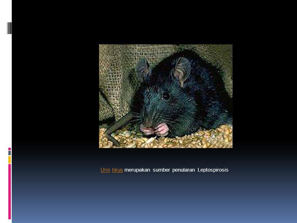 Urin tikus merupakan sumber penularan Leptospirosis