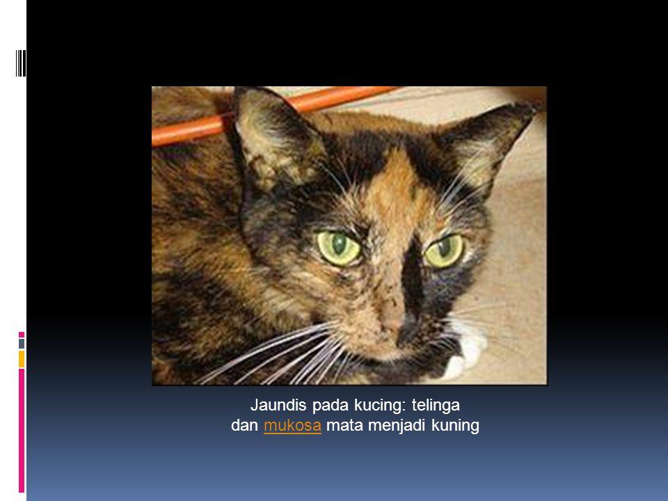 Jaundis pada kucing: telinga dan mukosa mata menjadi kuning