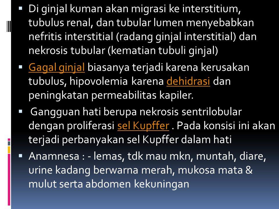 Di ginjal kuman akan migrasi ke interstitium, tubulus renal, dan tubular lumen menyebabkan nefritis interstitial (radang ginjal interstitial) dan nekrosis tubular (kematian tubuli ginjal)
