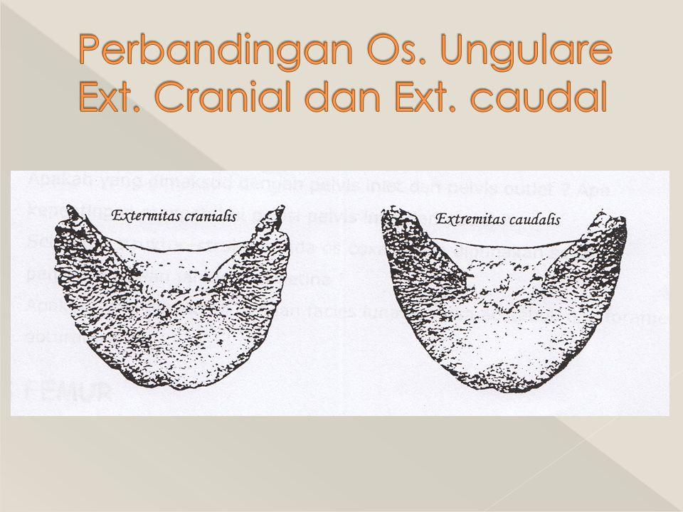 Perbandingan Os. Ungulare Ext. Cranial dan Ext. caudal