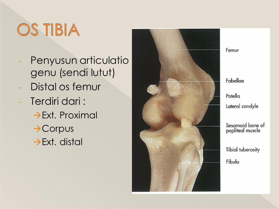 OS TIBIA Penyusun articulatio genu (sendi lutut) Distal os femur