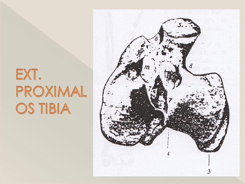 EXT. PROXIMAL OS TIBIA