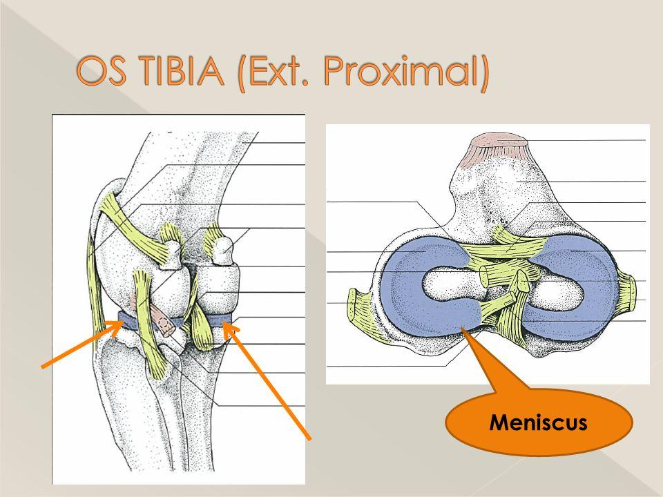 OS TIBIA (Ext. Proximal)