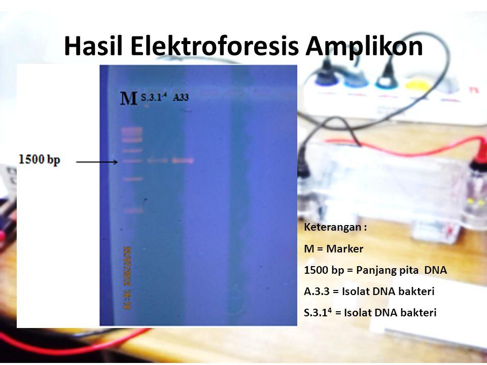 Hasil Elektroforesis Amplikon