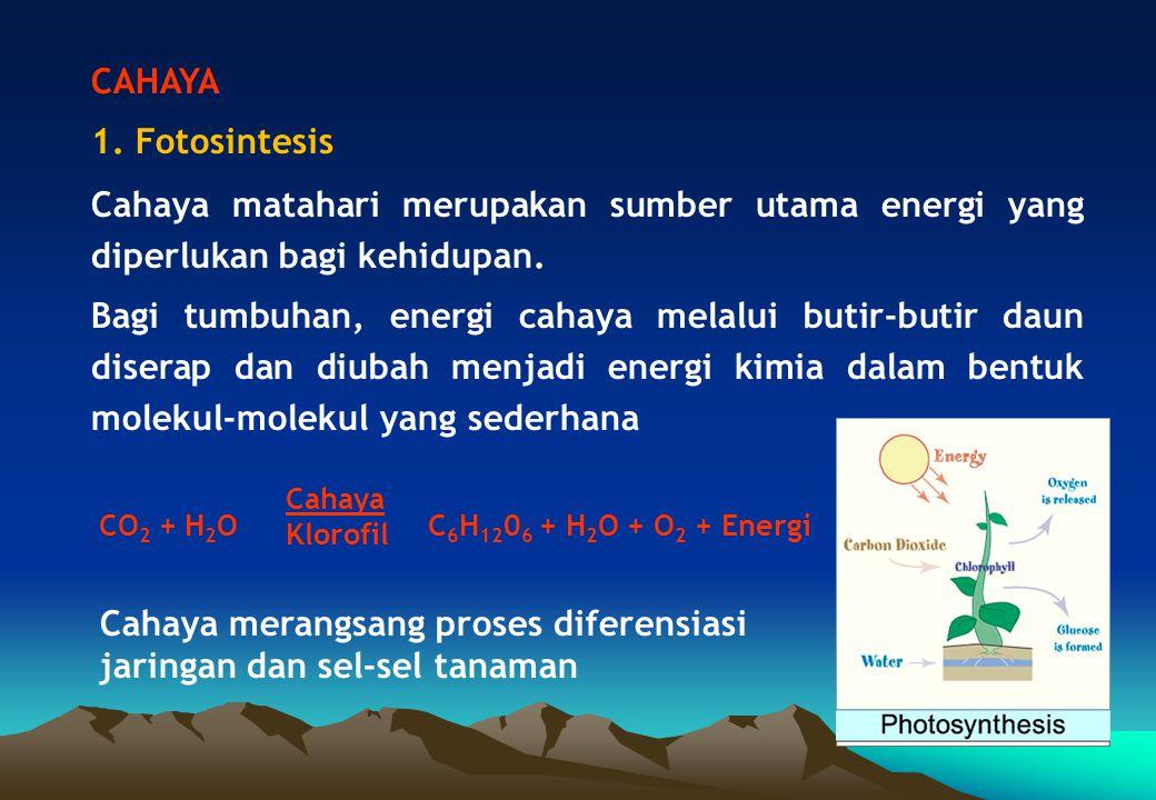 Cahaya merangsang proses diferensiasi jaringan dan sel-sel tanaman
