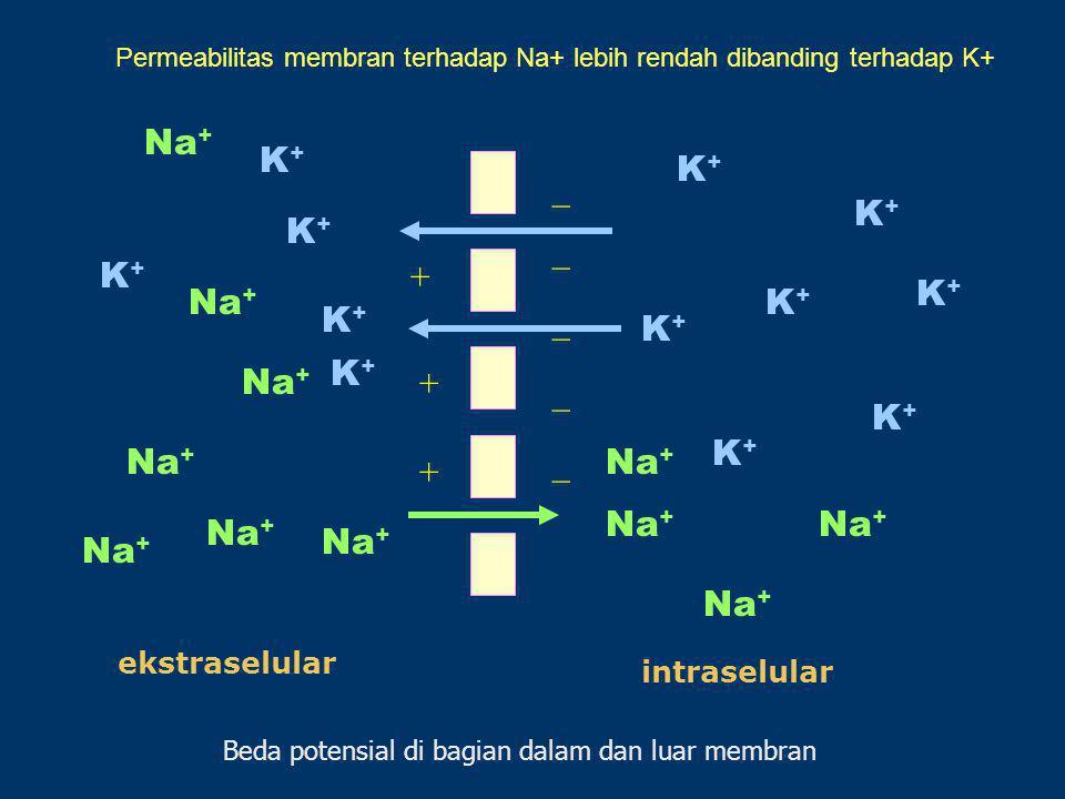 Na+ K+ K+ _ K+ K+ _ K+ + K+ Na+ K+ K+ _ K+ K+ Na+ + _ K+ K+ Na+ _ Na+