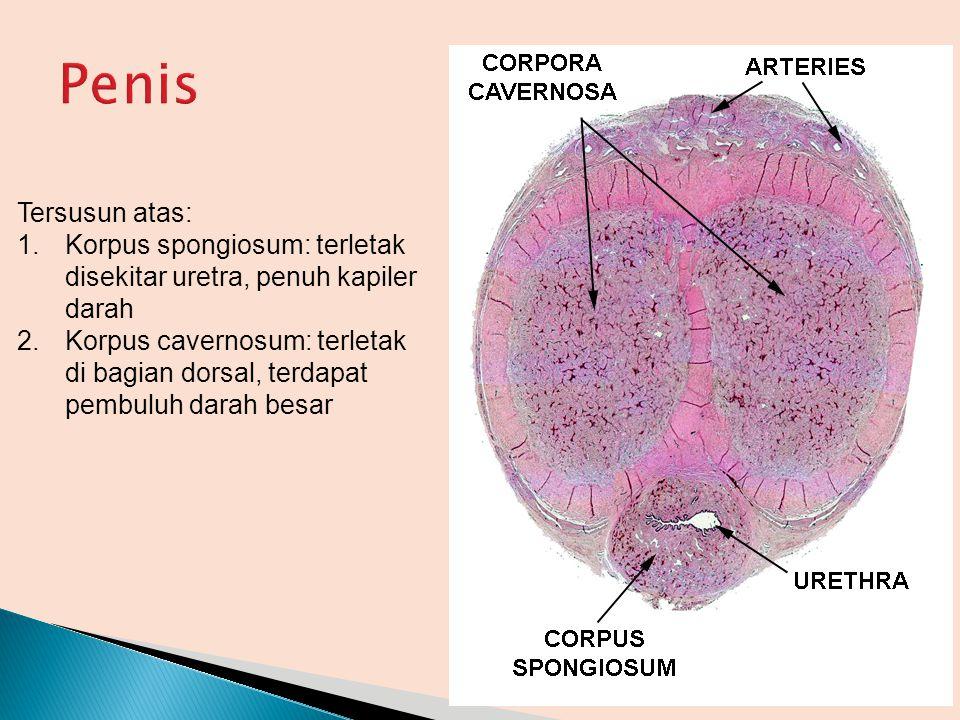 Penis Tersusun atas: Korpus spongiosum: terletak disekitar uretra, penuh kapiler darah.