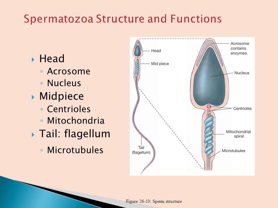 Spermatozoa Structure and Functions