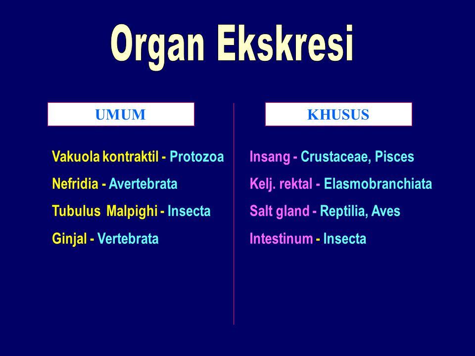 Organ Ekskresi UMUM KHUSUS Vakuola kontraktil - Protozoa