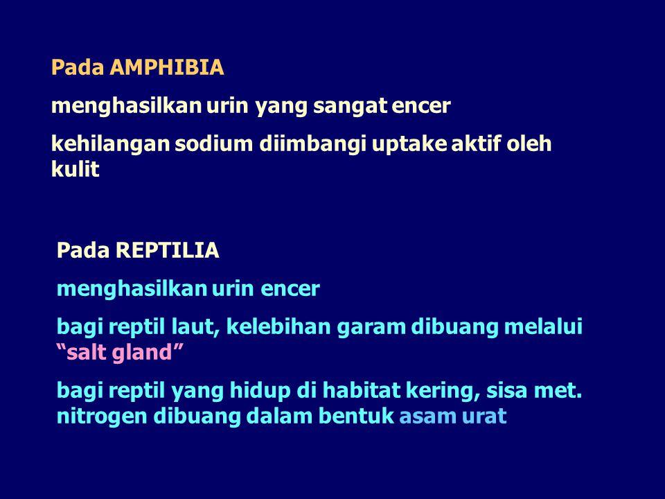 Pada AMPHIBIA menghasilkan urin yang sangat encer. kehilangan sodium diimbangi uptake aktif oleh kulit.