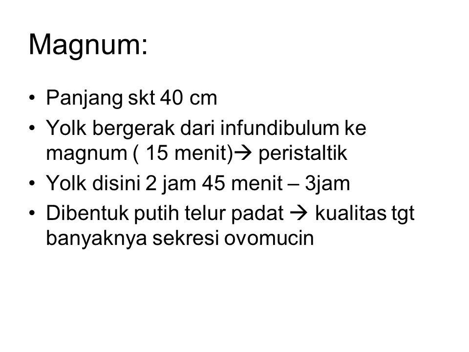 Magnum: Panjang skt 40 cm. Yolk bergerak dari infundibulum ke magnum ( 15 menit) peristaltik. Yolk disini 2 jam 45 menit – 3jam.