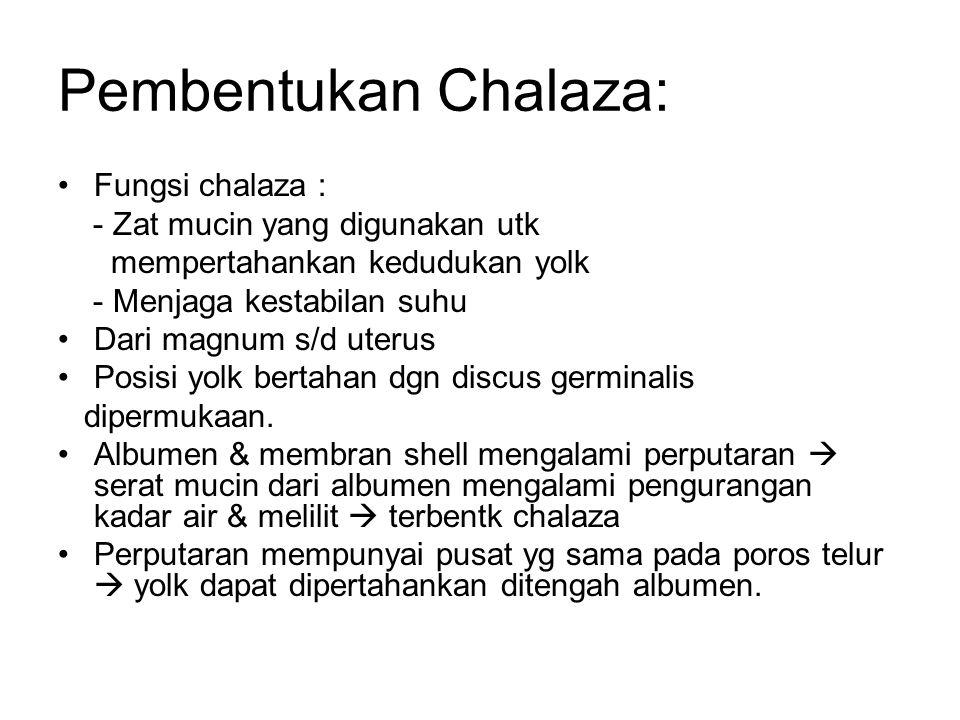 Pembentukan Chalaza: Fungsi chalaza : - Zat mucin yang digunakan utk