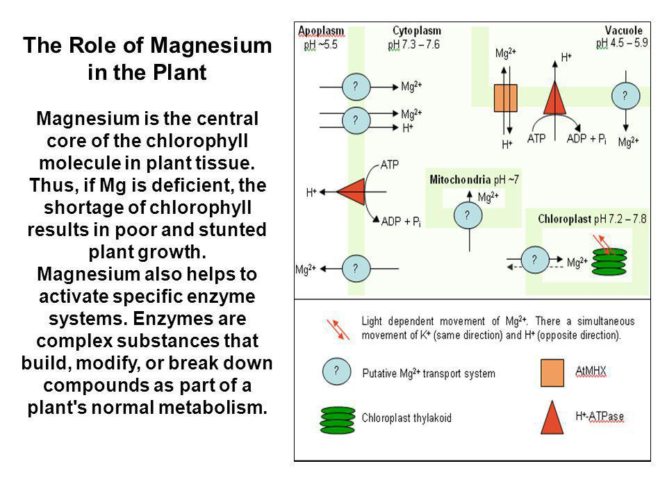 The Role of Magnesium in the Plant