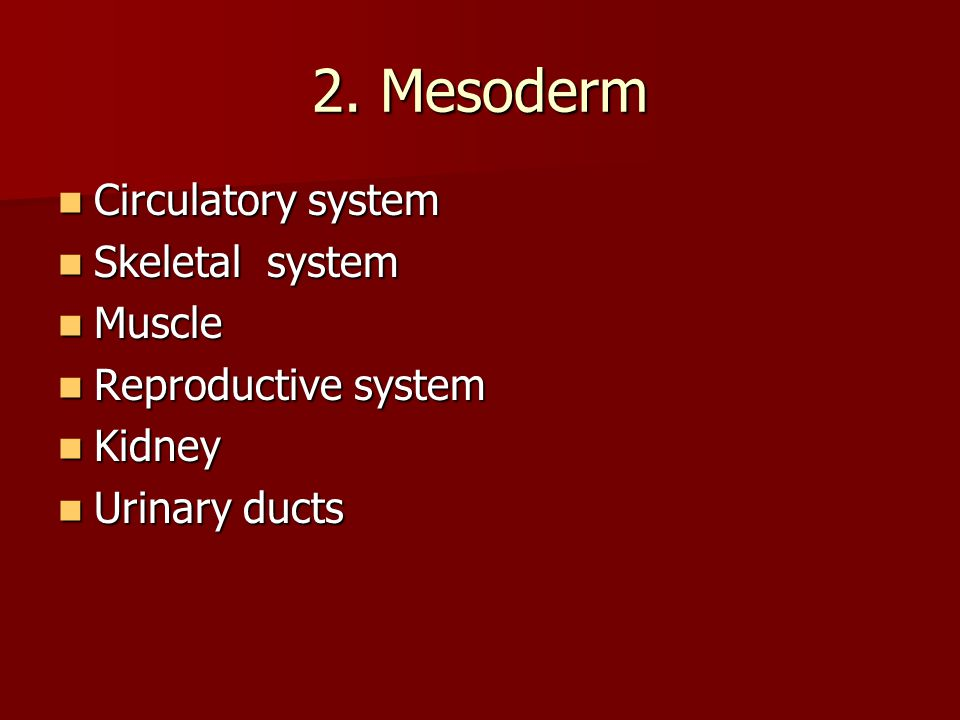2. Mesoderm Circulatory system Skeletal system Muscle