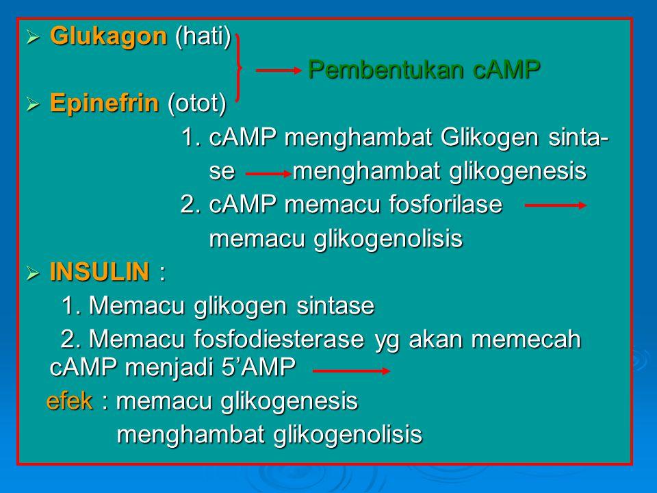 Glukagon (hati) Pembentukan cAMP. Epinefrin (otot) 1. cAMP menghambat Glikogen sinta- se menghambat glikogenesis.