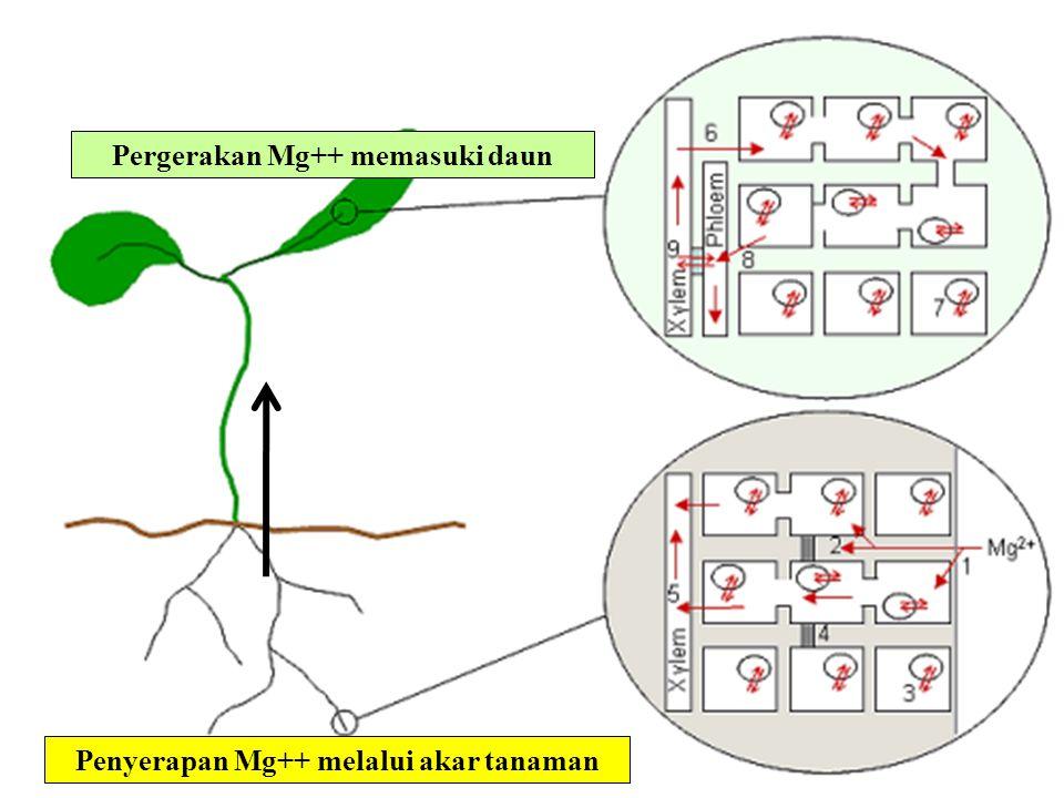 Pergerakan Mg++ memasuki daun Penyerapan Mg++ melalui akar tanaman