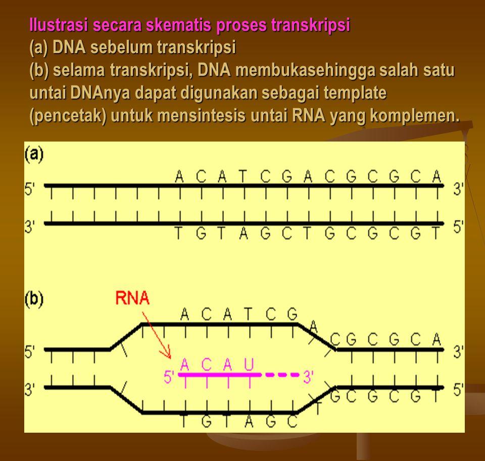 Ilustrasi secara skematis proses transkripsi (a) DNA sebelum transkripsi (b) selama transkripsi, DNA membukasehingga salah satu untai DNAnya dapat digunakan sebagai template (pencetak) untuk mensintesis untai RNA yang komplemen.