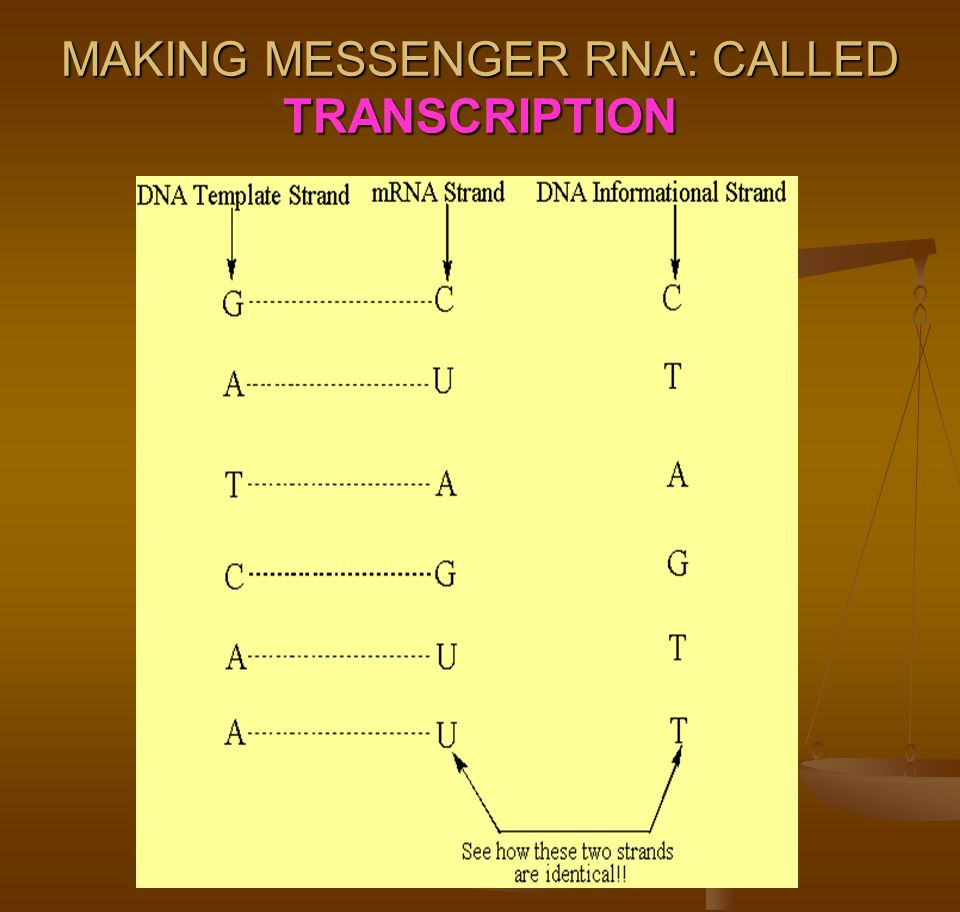 MAKING MESSENGER RNA: CALLED TRANSCRIPTION