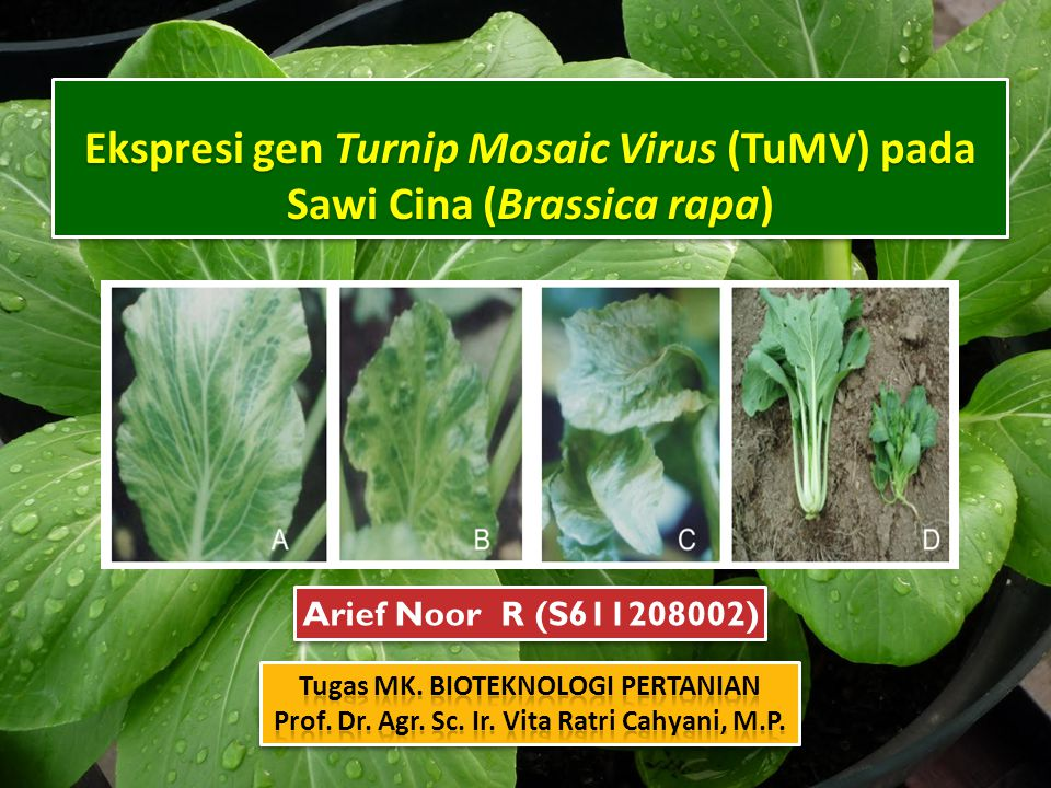 Ekspresi gen Turnip Mosaic Virus (TuMV) pada Sawi Cina (Brassica rapa)