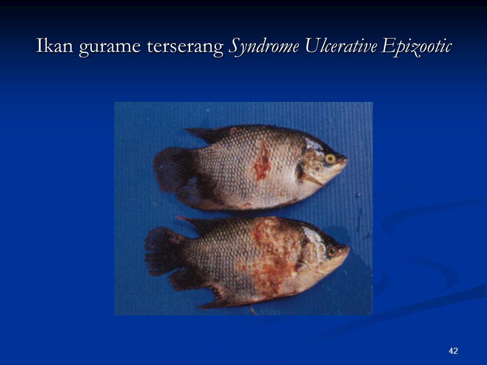 Ikan gurame terserang Syndrome Ulcerative Epizootic