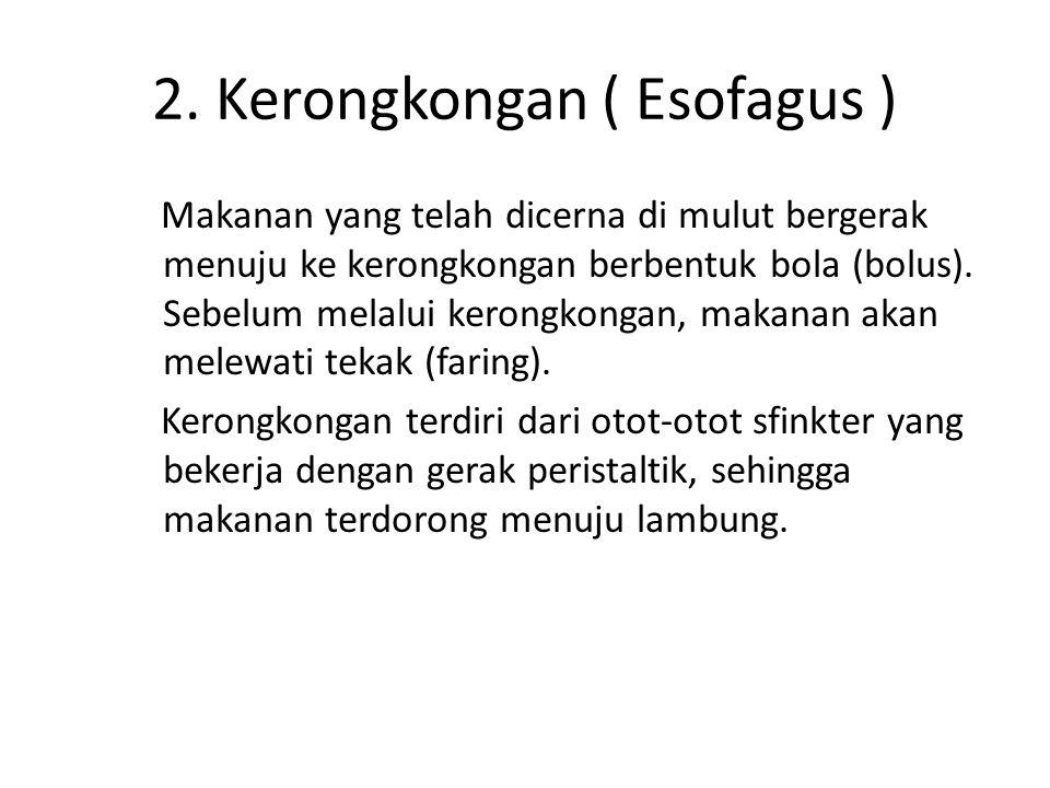 2. Kerongkongan ( Esofagus )