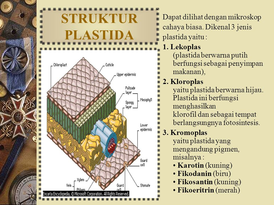 STRUKTUR PLASTIDA Dapat dilihat dengan mikroskop