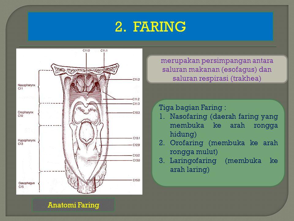 2. FARING merupakan persimpangan antara saluran makanan (esofagus) dan saluran respirasi (trakhea)