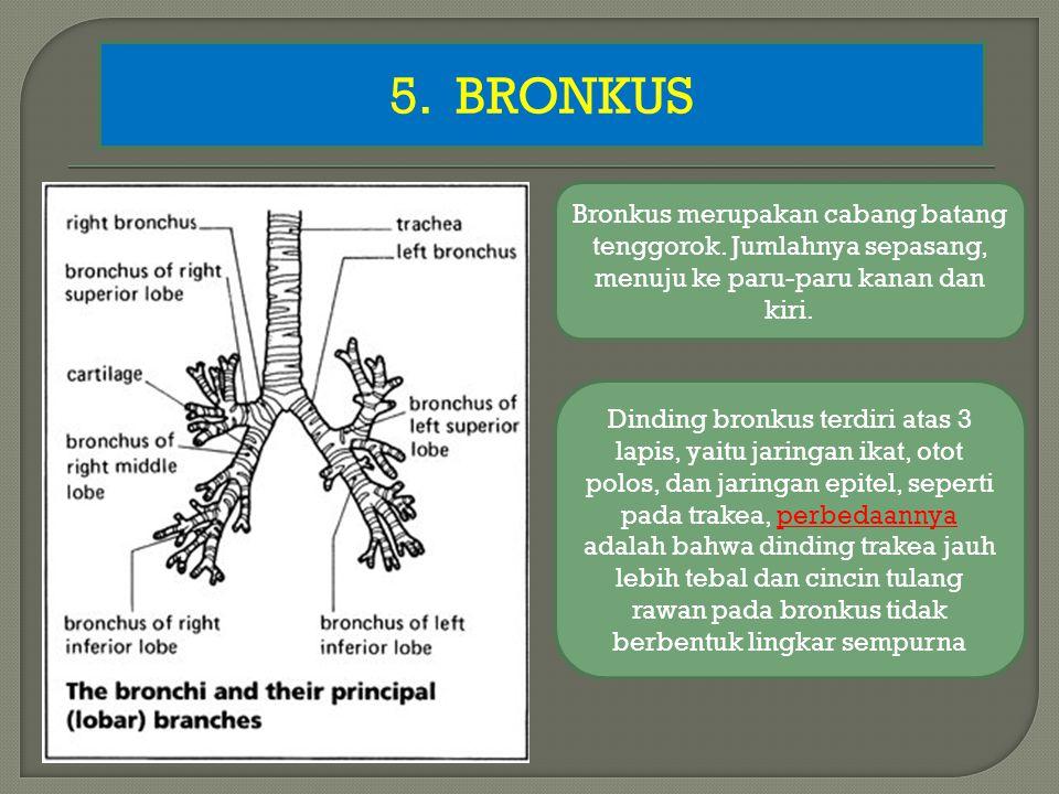 5. BRONKUS Bronkus merupakan cabang batang tenggorok. Jumlahnya sepasang, menuju ke paru-paru kanan dan kiri.