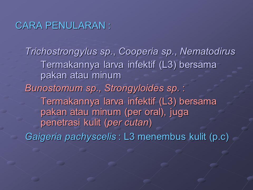 Termakannya larva infektif (L3) bersama pakan atau minum