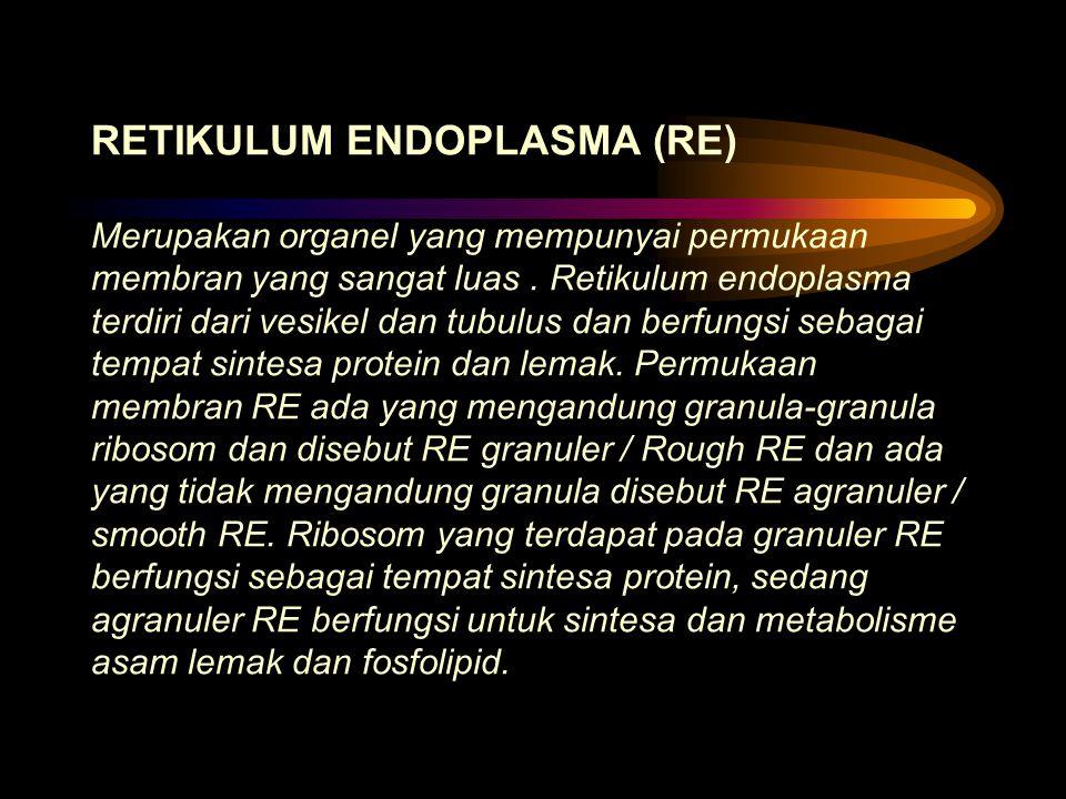 RETIKULUM ENDOPLASMA (RE) Merupakan organel yang mempunyai permukaan membran yang sangat luas .