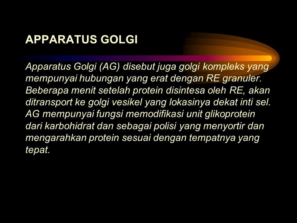 APPARATUS GOLGI Apparatus Golgi (AG) disebut juga golgi kompleks yang mempunyai hubungan yang erat dengan RE granuler.