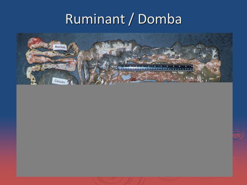 Ruminant / Domba
