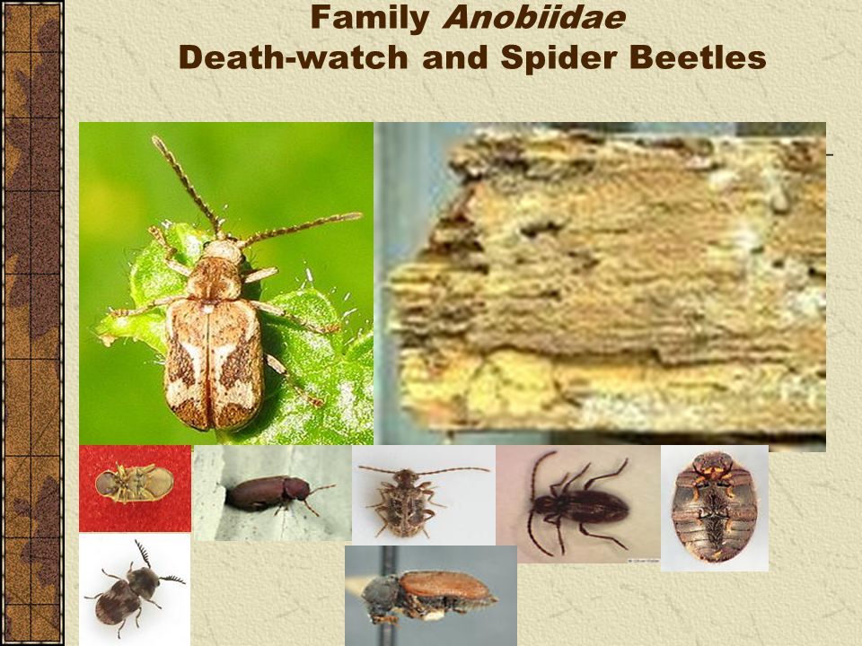 Family Anobiidae Death-watch and Spider Beetles