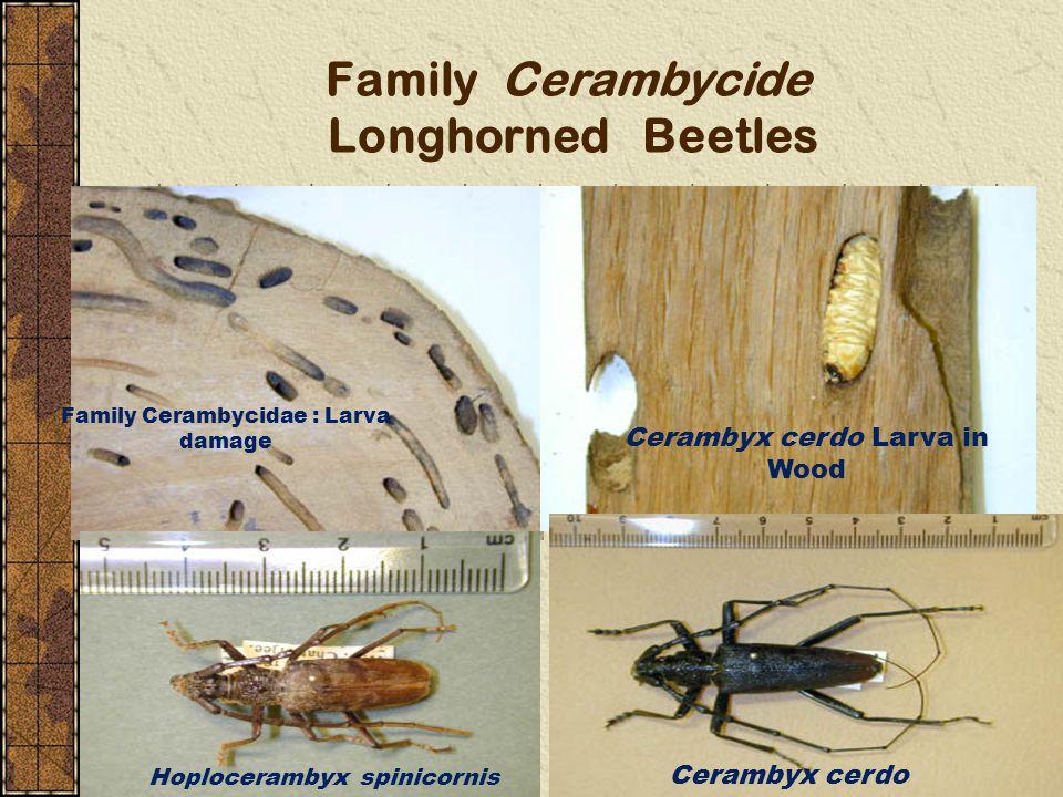Family Cerambycide Longhorned Beetles
