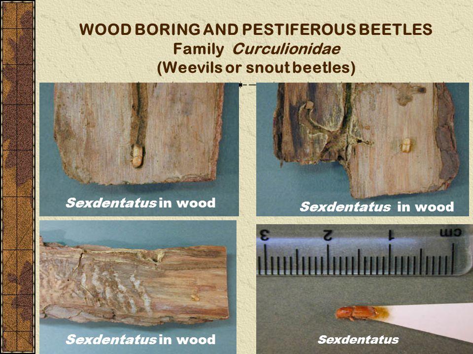 WOOD BORING AND PESTIFEROUS BEETLES Family Curculionidae (Weevils or snout beetles)