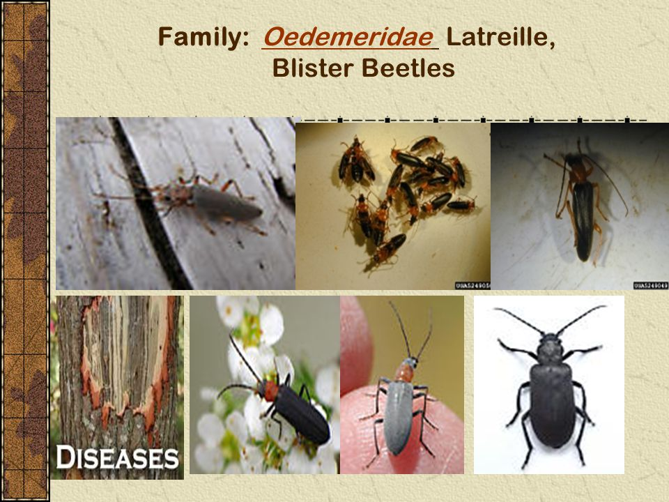 Family: Oedemeridae Latreille, Blister Beetles