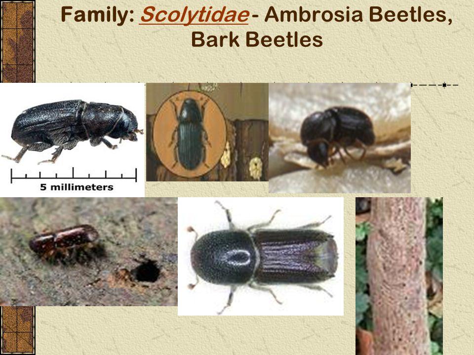 Family: Scolytidae - Ambrosia Beetles, Bark Beetles