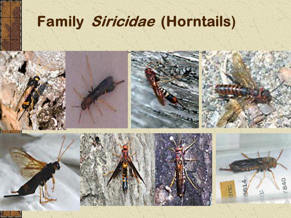 Family Siricidae (Horntails)