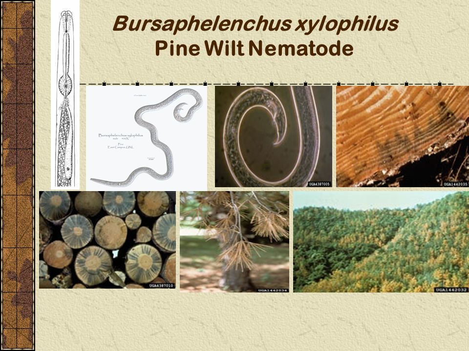 Bursaphelenchus xylophilus Pine Wilt Nematode