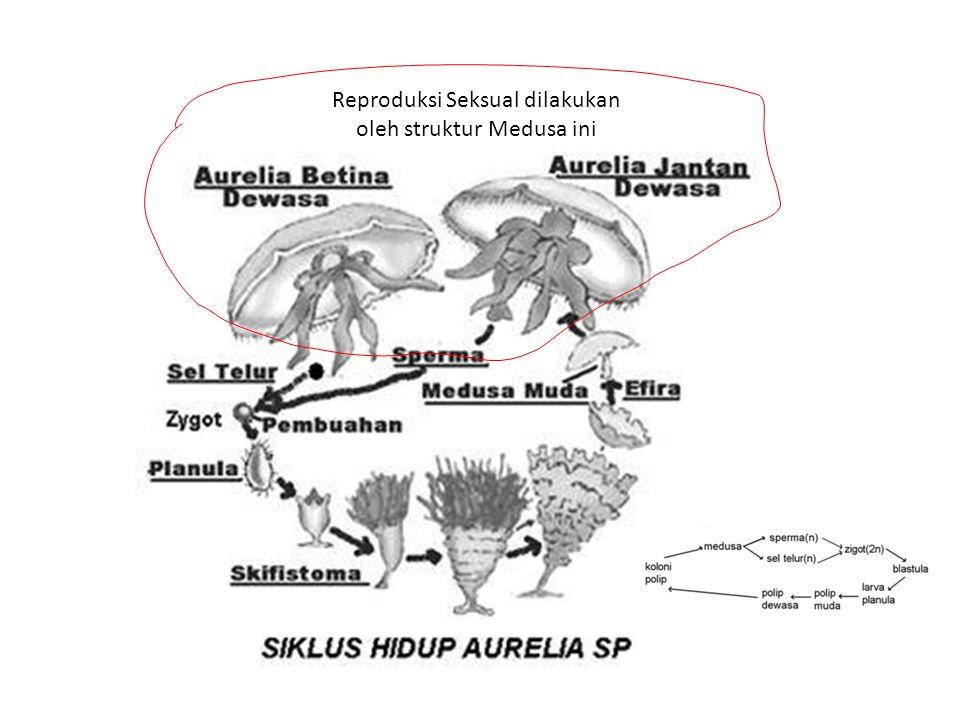 Reproduksi Seksual dilakukan oleh struktur Medusa ini