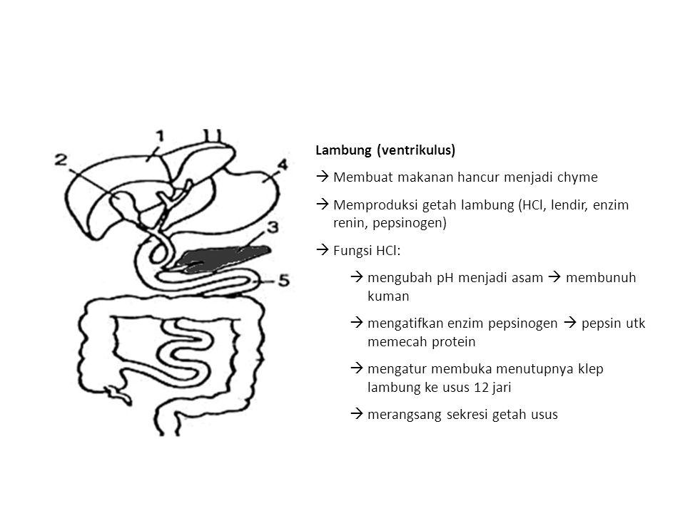 Lambung (ventrikulus)