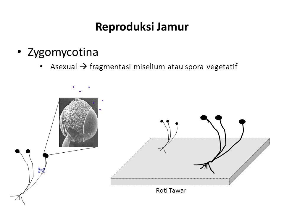 Reproduksi Jamur Zygomycotina