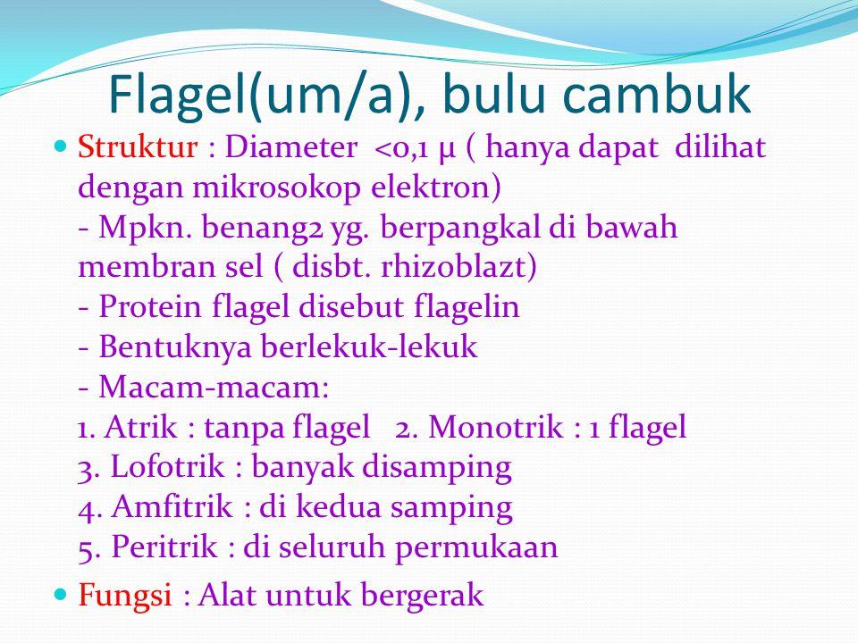 Flagel(um/a), bulu cambuk