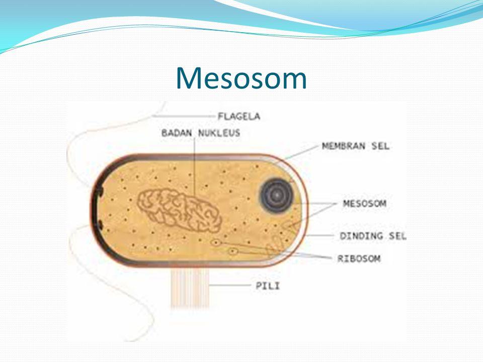 Mesosom